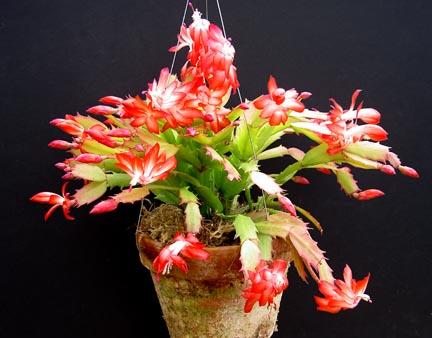 schlumbergera_orssichiana_x_truncata2