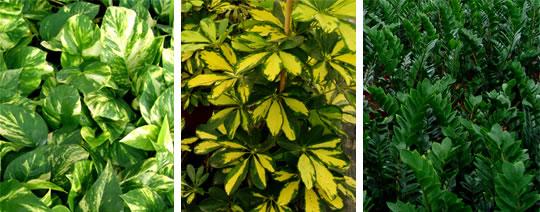 Algunas variedades de ficus cuidado de plantas - Variedades de plantas de interior ...