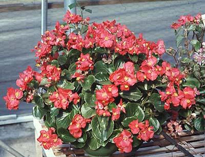 Consejos para cuidar muy bien las begonias cuidado de - Tipos de plantas y sus cuidados ...