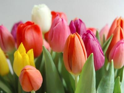 tulipanes-III