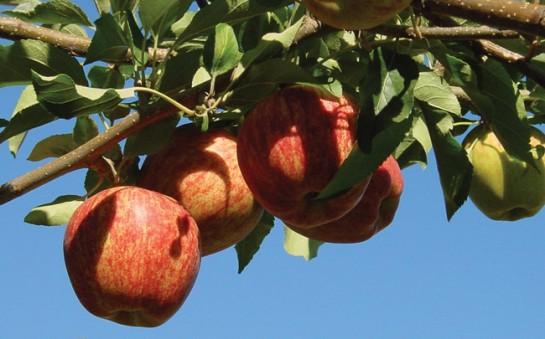 manzanas1-545x339