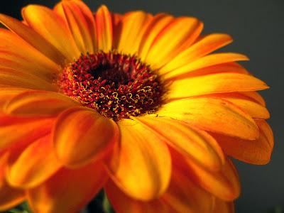 Orange_Gerbera_Daisy1