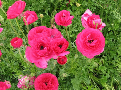 flowers-mellano-san-diego-ranunculus21