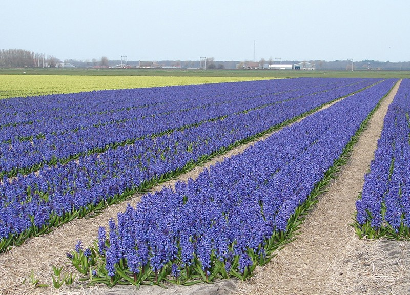 hyacinthus_fields