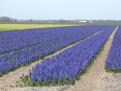 hyacinthus_fields1
