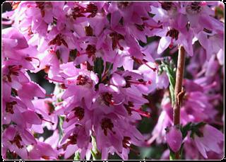 El brezo como planta de invierno cuidado de plantas - Yucca elephantipes cuidados ...