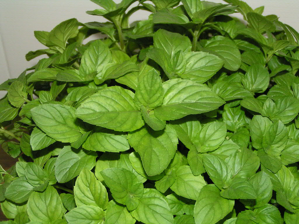 Plantas que la Industria Farmaceutica prefiere no conozcas!!