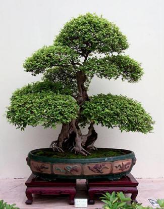 bonsai_wypas