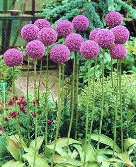 Allium_ampeloprasum