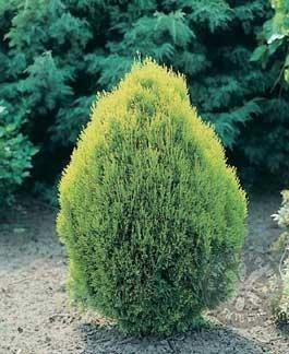 Coniferas cuidado de plantas for Coniferas de jardin
