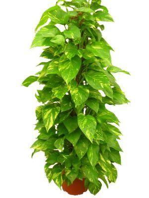 Informaci n sobre el potus una planta de interior - Arbustos de interior ...