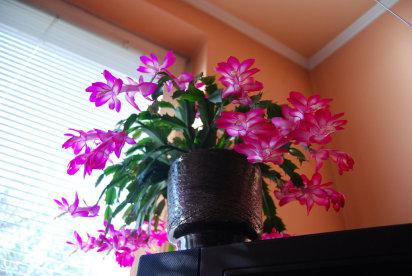 Cactus cuidado de plantas - Cuidados planta navidad ...