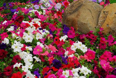 Perfect_Petunias1