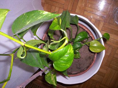 Trepadoras cuidado de plantas - Enredaderas de interior ...