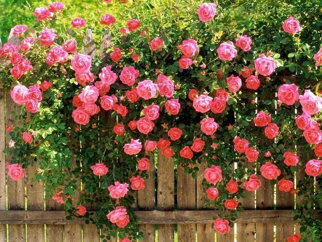 dicas-para-plantar-roseiras-11